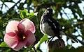 Sweet looks of Oriental Magpie Robin.jpg