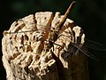 Sympetrum striolatum 4.jpg