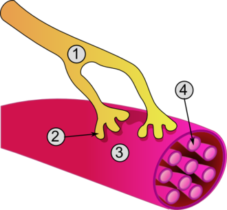 Neuromuscular-blocking drug - Global view of a neuromuscular junction: 1. Axon 2. Motor end-plate 3. Muscle fiber 4. Myofibril