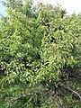 Syringa vulgaris, familija Oleacea 01.jpg