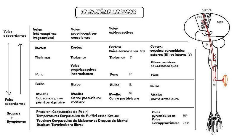 Fichier:Systemenerveux2.JPG