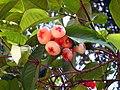 Syzygium aqueum in India.jpg