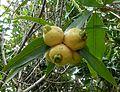 Syzygium jambos, vrugte, c, Manie van der Schijff BT.jpg