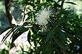 Syzygium jambos 7.jpg