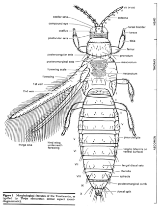 Thrips obscuratus morphology illustrated by Des Helmore THYS Thripidae Thrips obscuratus2.png