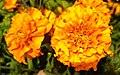 Tagetes-Marigold-Flower 04.jpg