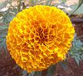 Tagetes erecta Marigold flower at Madhurawada 03.JPG