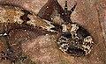 Tail of Malaysia Bow-fingered Gecko (Cyrtodactylus elok) (8753376361).jpg