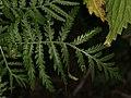 Tanacetum vulgare (36848094855).jpg