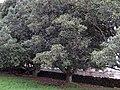 Taraire2367trees.jpg