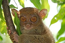Tarsiers are prosimian primates, but more closely related to monkeys, apes, and humans (simians) than to other prosimians.