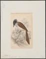 Tchitrea leucogaster - 1838 - Print - Iconographia Zoologica - Special Collections University of Amsterdam - UBA01 IZ16500055.tif