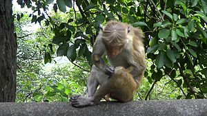 File:Temple monkey sitting on a wall.ogv