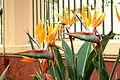 Tenerife Strelitzia reginae.JPG