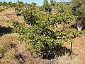 Terminalia hadleyana subsp. carpentariae small.jpg