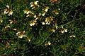 Teucrium montanum PID1360-1.jpg