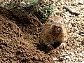Texas Canyon - Botta's Pocket Gopher 2.jpg