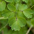Thalictrum aquilegifolium 03.jpg