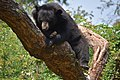 The Himalayan black bear (Ursus thibetanus) is a rare subspecies of the Asiatic black bear. 13.jpg