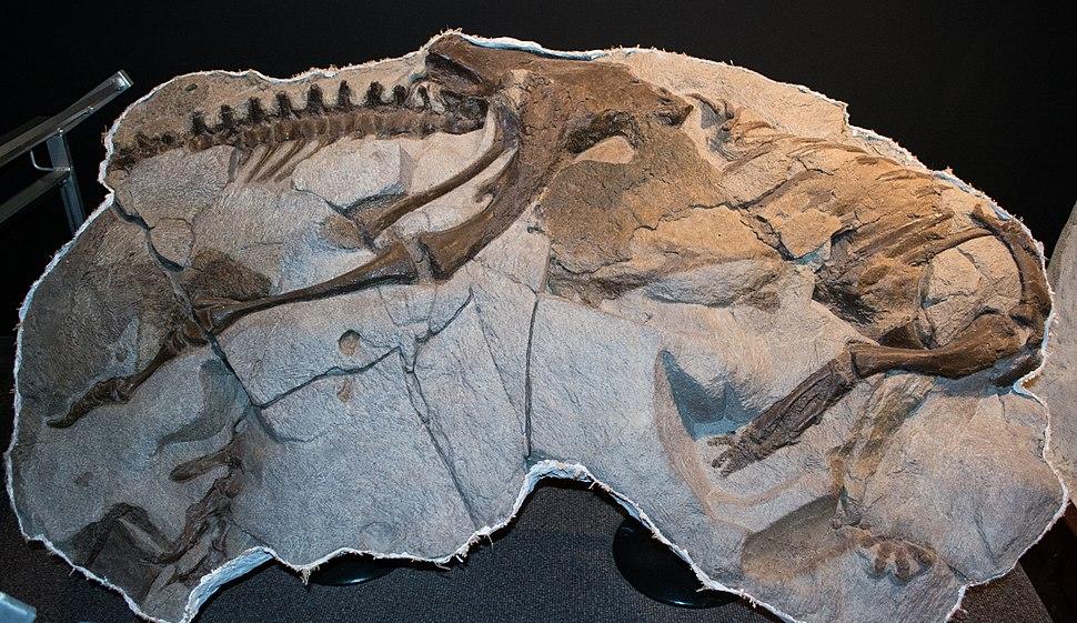 Thescelosaurus neglectus - Museum of the Rockies