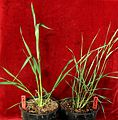 Thinopyrum intermedium selected versus wild young plants.JPG