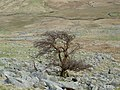 This windblown tree appears to have given up - geograph.org.uk - 751016.jpg
