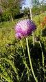 Thistles in the family Asteraceae in Yerevan 01.jpg