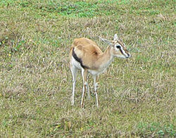 Thomsoningaselli (Gazella thomsoni)