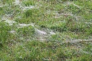 Ballooning (spider) - Threads of silk following a mass spider ballooning