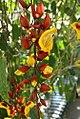Thunbergia mysorensis 16zz.jpg