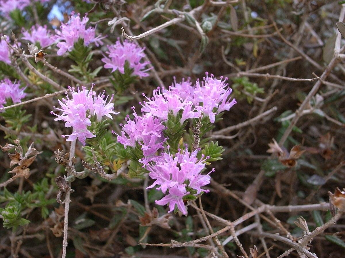 Thymbra (plant) - Wiki...