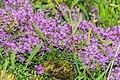 Thymus praecox at Lac de Mines d'Or (2).jpg