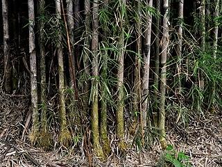 <i>Thyrsostachys</i> genus of plants