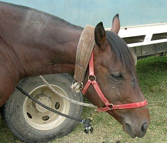 Collar (animal) - Tie up collar correctly used with a headcollar on a stallion