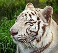 TigerBoi.jpg