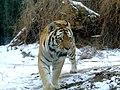 TigerST.jpg