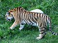 Tigre de Sibérie (Panthera tigris altaica) (1).jpg