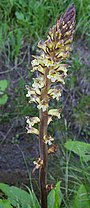 Thistle broomrape