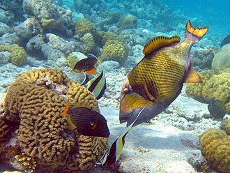 Triggerfish - The titan triggerfish can move relatively large rocks when feeding and is often followed by smaller fish, in this case orange-lined triggerfish and moorish idol, that feed on leftovers
