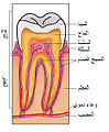 ToothSection Arabic.jpg