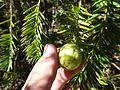 Torreya californica seed.jpg