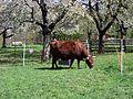 Toulcův dvůr, kráva.jpg