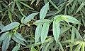 Tournefortia heyneana 14.JPG