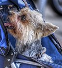 Toy dog in stroller (8378578670)