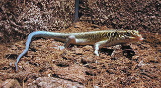 <i>Trachylepis quinquetaeniata</i> species of reptile