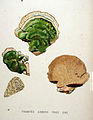 Trametes gibbosa — Flora Batava — Volume v20.jpg