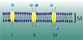 TransportProteine.png