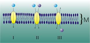 I tre tipi di trasporto secondario: I. Uniporto II. Simporto III. Antiporto