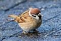 Tree Sparrow (194224349).jpeg