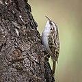 Treecreeper (49555920302).jpg